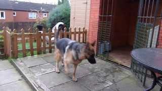German Shepherd On Guard Alert Barking