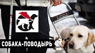 Собака-Поводырь - про обучение, как получить и эмоции владельца