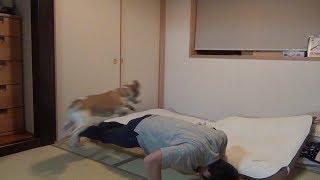 Beagle #ビーグル #うぃるさん #第一回馬飛び選手権 とりあえずその...
