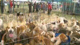 Foxhounds at Cheshire County Show, 21/06/11.