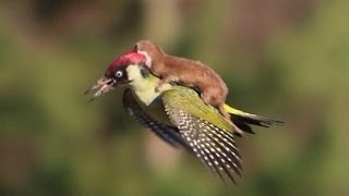Weasel Riding On A Bird - Parry Gripp