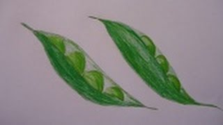 easy drawing for children, easy and simple drawing of peas
