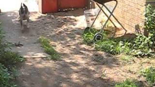 Dachshund Beagle Mix Runs W/ Out Surgery After Disc Rupture