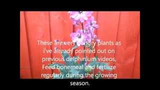 Pink Delphinium Magic fountains, Pacific giant, Help care tips