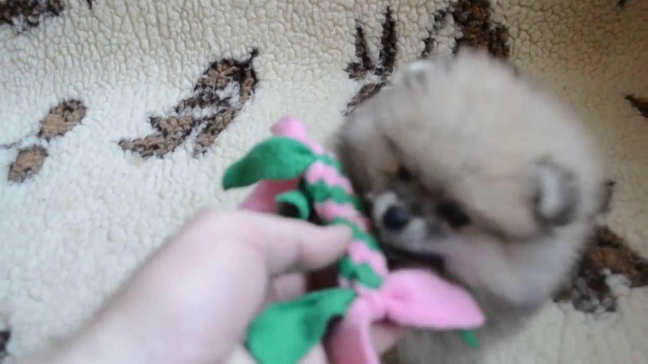 Бенгальский котенок, мальчик. Питомник SHIKARA, Пермь - YouTube