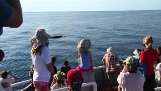 Migrating Humpback Whales in Baja California