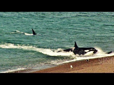 ORCAS ATACAN !!. CHUBUT. Peninsula de Valdes. Patagonia Argentina. SubSur.