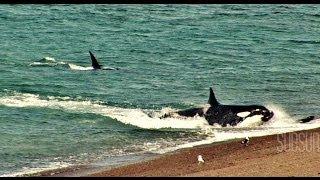 ORCAS ATACAN !!. CHUBUT. Peninsula de Valdes. Patagonia Argentina. SubSur. thumbnail