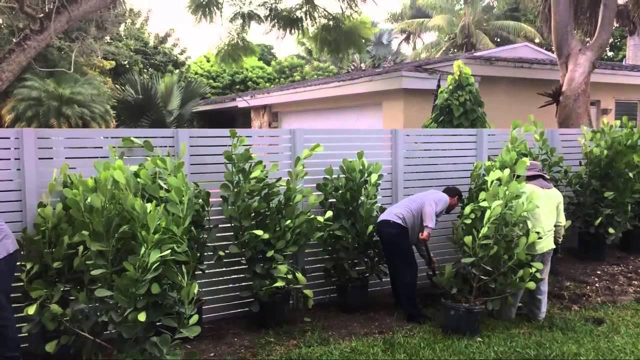 Clusia Plants Miami Pitch Le Plant Nursery