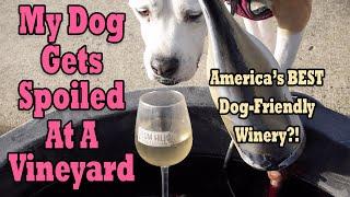 American Bulldog Reviews a Vineyard in the Willamette Valley | Big Dog Travel Vlog 4K