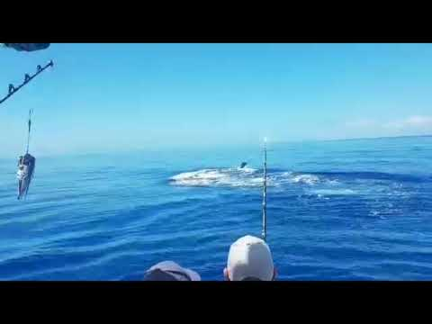 600 Pound Blue Marlin Fishing In Madeira Amazing Fish