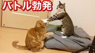 場所の取り合いで兄猫と妹猫が大喧嘩!?