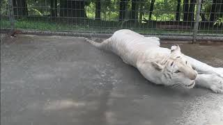 White Tiger Plays In Water Hose