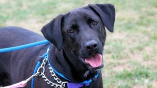 Lucky, A Delightful 2-year-old Labrador Retriever Adopted In Manahawkin, Nj