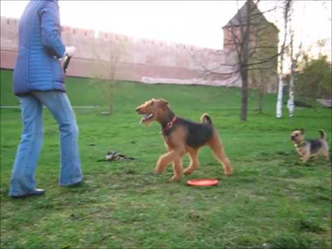 Airedales Rusja , Nikka  and Norwich Terrier Bona - walk :)