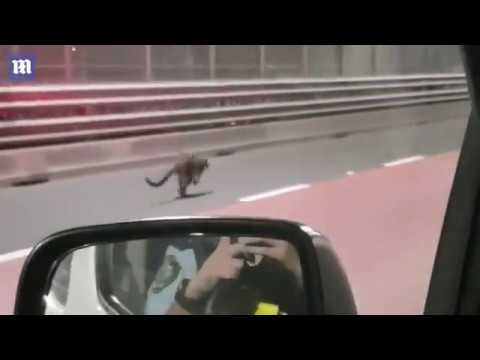 Incredible moment a WALLABY hops across the Sydney Harbour Bridge