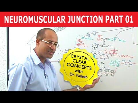 Neuromuscular Junction - Part 1/2
