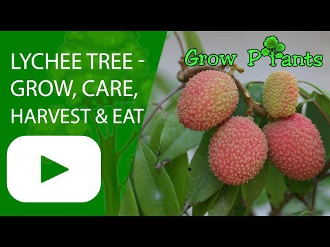 Lychee tree - grow, care, harvest and eat