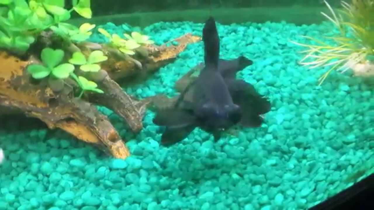 Freshwater aquarium fish documentary - Documentary Of My Pleco