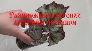 Размножение бегонии листовым черенком