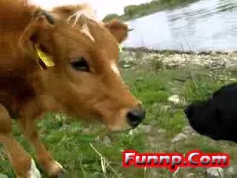 Funny Cows and Dog - YouTube
