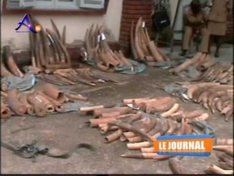 Ariane TV reports on1 ton Ivory seizure in Douala