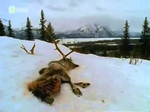 Классный фильм! Дикая жизнь Аляски  Первозданная природа   Документальный фильм