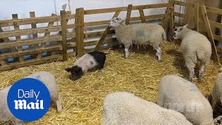 Adorable piglet thinks she is a lamb after being adopted by herd