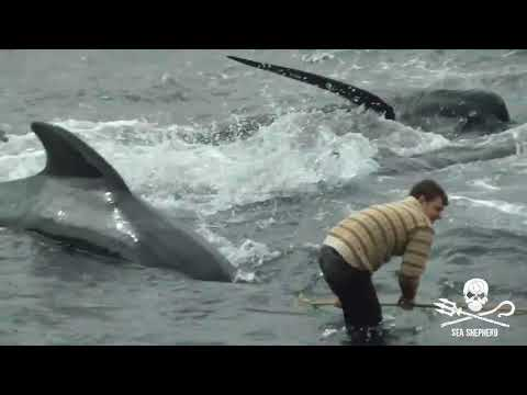 The Happiest Country In The World Enjoys Slaughtering Dolphins [Video]