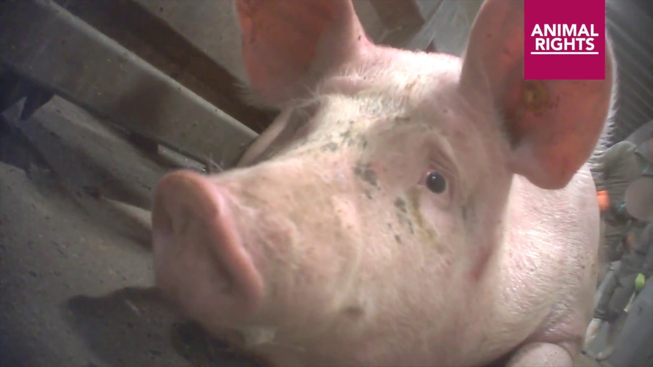 Pig Slaughterhouse - The Truth About Bacon & Pork (Video)