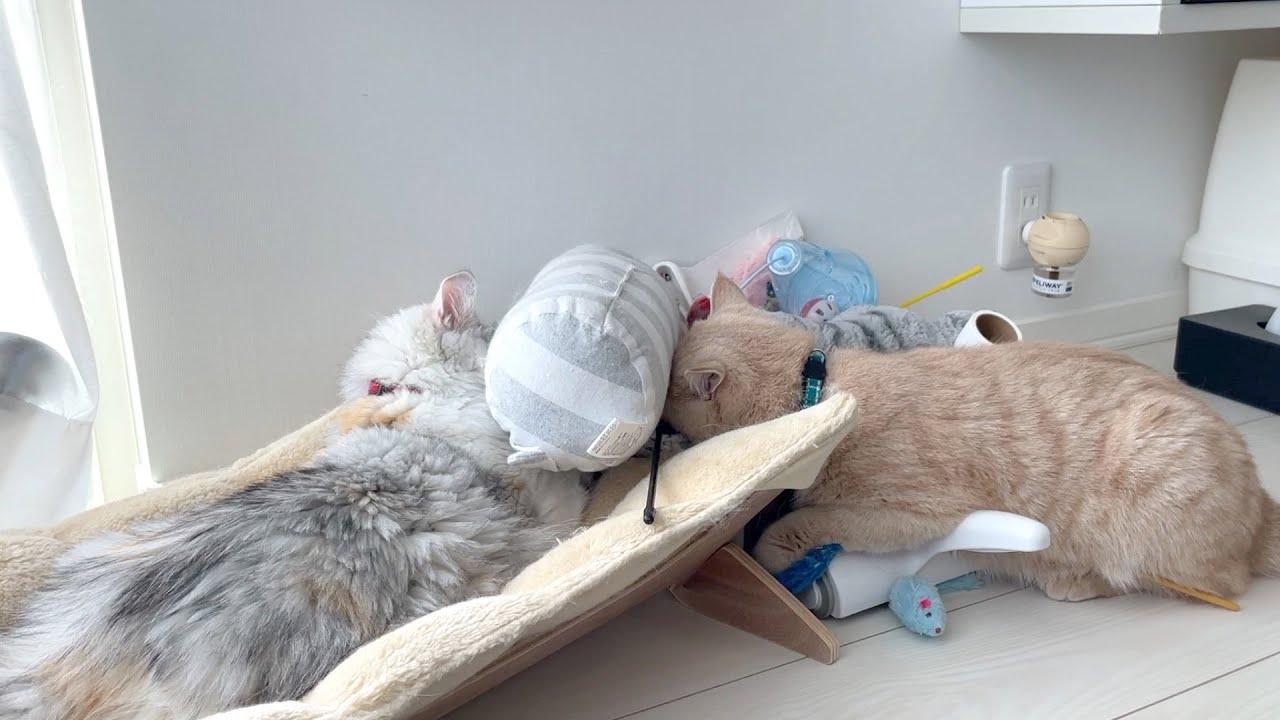 おもちゃ箱から大好きなアレを探す姉弟猫がかわいい!!【多頭飼い】