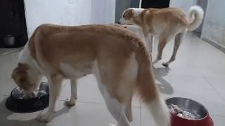 HOW TO FEED MY DOGS || MUSCULAR DOGS || DOG DIET || BARF DIET || TUFFY AND LILY EATING CHICKEN RICE