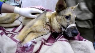 Спасение собаки с полной глоткой гноя (18+)