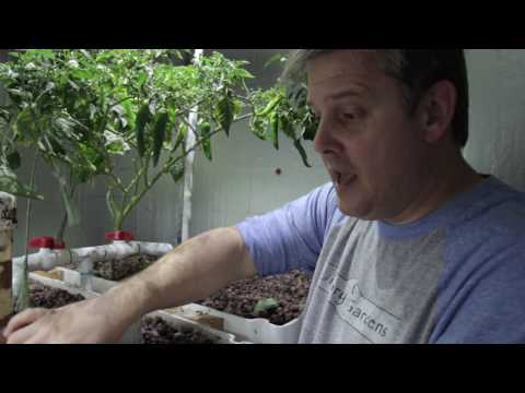 Growing Food In A Small Aquaponics System In A Suburban Garage