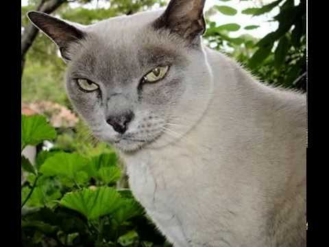 Burmese Cat Facts - Facts About Burmese Cats