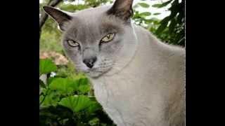 Burmese Cat Facts  Facts About Burmese Cats