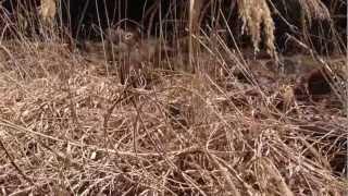 増田川の若いイノシシ