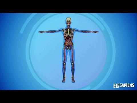 los-sistemas-del-cuerpo-humano