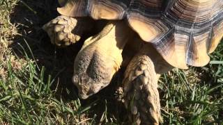 African Sulcata tortoise labored breathing...continued