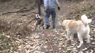 How to teach off leash control using a long lead - Dodge Akita Adoption Video