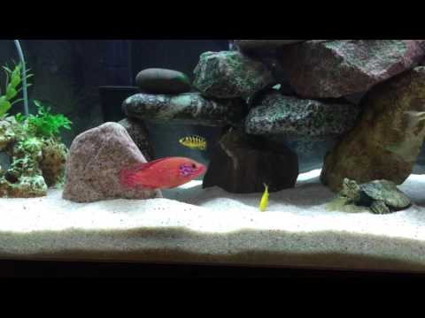Jewel Cichlids Mixed With The Other Cichlids.