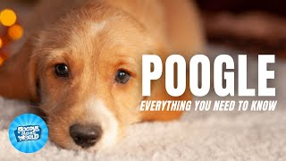 Poogle Dog Breed Information  Do They Have Watchdog Tendencies?   Poogle Dogs 101