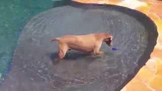 Cooper The Weimaraner Amusing Himself In The Pool