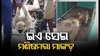 Monkey Kills Man On Bhubaneswar Outskirts; Nabbed By Forest Officials