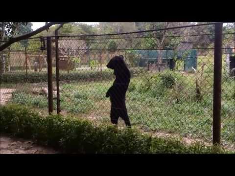 人のように二足歩行で歩く熊。決して見世物ではない、考えさせられる現実。