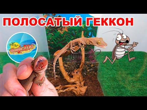 Полосатый геккон. Берегите пальцы! Террариум для ящерицы.