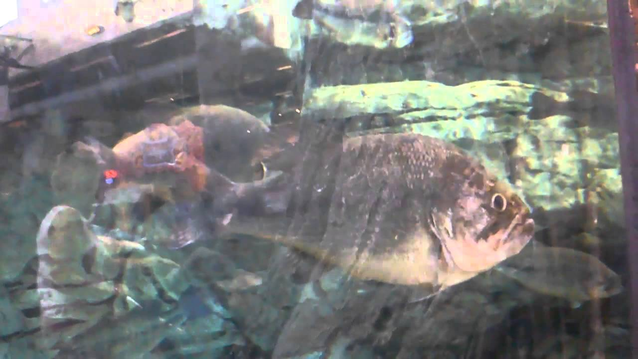 Bass pro shops big bass in fish tank youtube for Bass fish tank