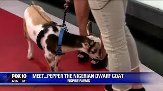 Critter Corner: Pepper the Nigerian Dwarf Goat
