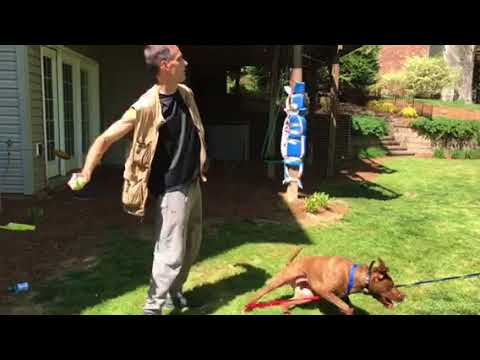 Weight pulling while playing fetch for high energy dogs