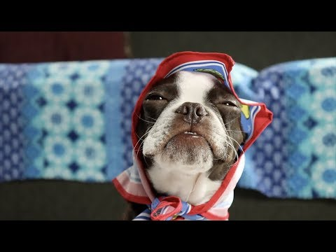 Cutest Baby Boston Terrier ever Unboxing